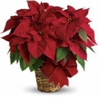 Poinsettias from Olney's Flowers of Rome in Rome, NY