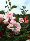 $5 Off Rose Bushes from Olney's Flowers of Rome in Rome, NY