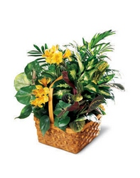 A Bit of Sunshine Basket - Dishgarden With Flowering Plant from Olney's Flowers of Rome in Rome, NY