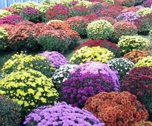 ***Mums*** from Olney's Flowers of Rome in Rome, NY