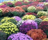 Mums from Olney's Flowers of Rome in Rome, NY