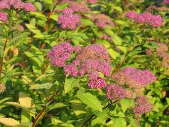 20% off Spirea from Olney's Flowers of Rome in Rome, NY
