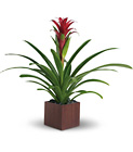 Teleflora's Bromeliad Beauty from Olney's Flowers of Rome in Rome, NY