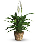 Simply Elegant Spathiphyllum from Olney's Flowers of Rome in Rome, NY