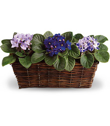Sweet Violet Trio from Olney's Flowers of Rome in Rome, NY