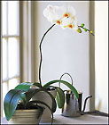 White Phalaenopsis Orchid from Olney's Flowers of Rome in Rome, NY
